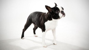 health problems of Boston Terrier