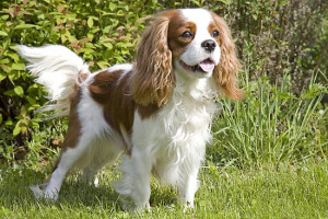 health problems of Cavalier King Charles Spaniel