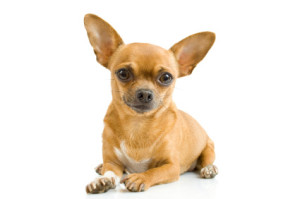 common health issues of Chihuahuas