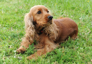 health problems of Cocker Spaniel