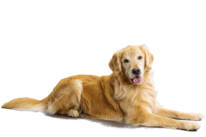 natural health problem of Golden Retriever