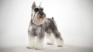 natural health problem of Miniature Schnauzer