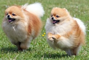 health issues of Pomeranian dogs
