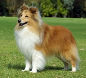 health issues of Shetland Sheepdog