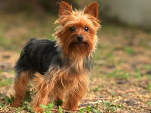 health problems of Yorkshire Terrier