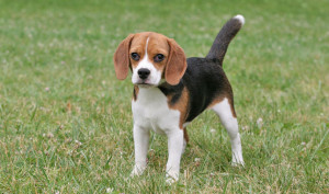health issues faced by beagles