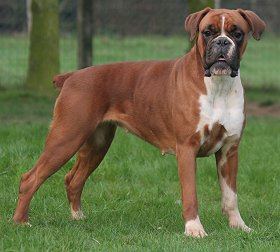 health problems faced by boxer dogs