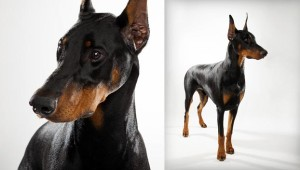 natural health issues of doberman pinscher