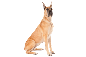 health issues of great dane