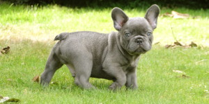 french bull dog health problem