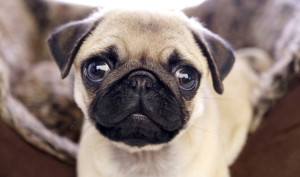 health problems by pugs