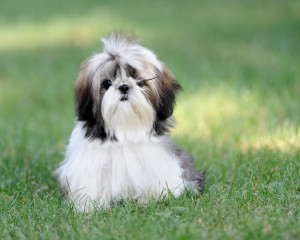 health issues by shi tzu dogs